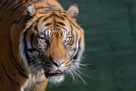 Tiger Carlos