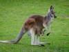 Känguru mit Nachwuchs
